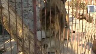 спаривание львов в зоопарке Симферополь