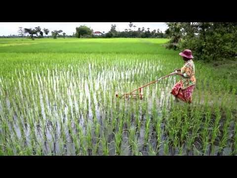 No Weed More Rice