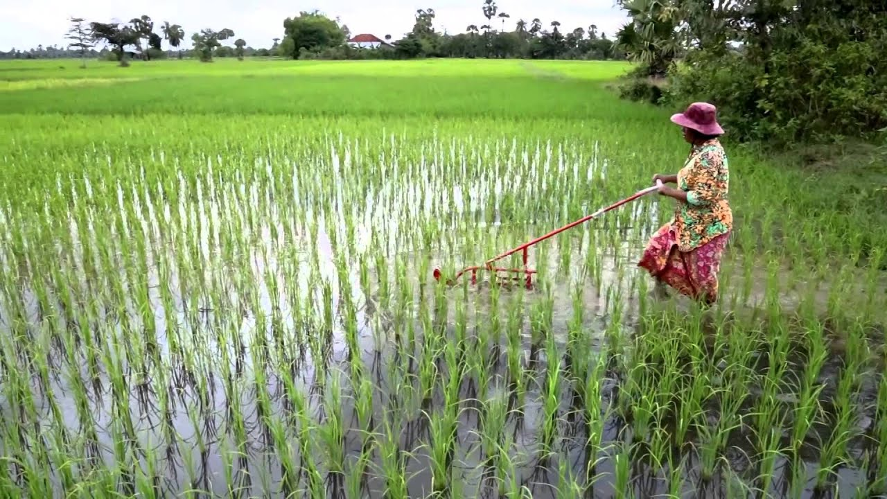 Telugu Agriculture News-How To Remove Weeds In Paddy Fields
