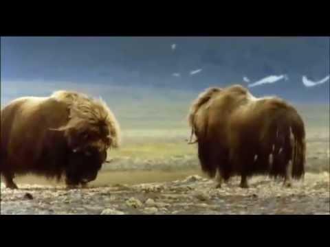 Combat de bœufs musqués