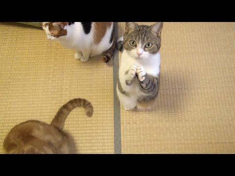 おやつちょうだい!可愛い猫のおねだり Cute Cat Begging for Fish Treats