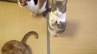 今日も猫は腹が減る。今度は前脚をスリスリ合わせておねだり【大人気、ご飯おねだり系動画】