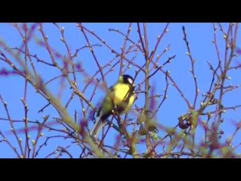 The Great Tit and its call