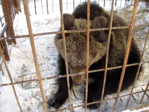 знакомства с медведями