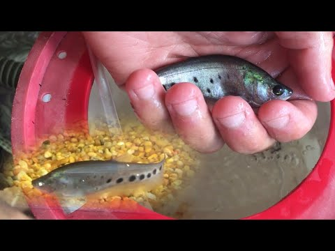 Saving A Baby Clown Knife Fish From Extinction