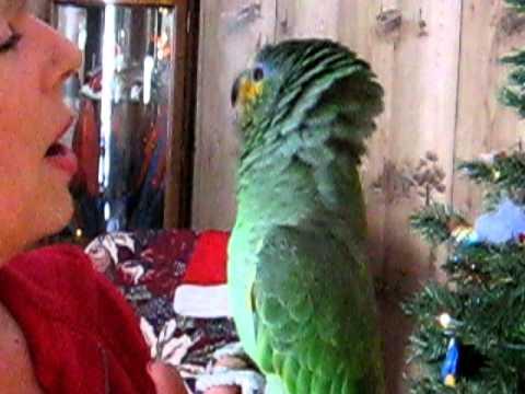 Orange Wing Amazon parrot singing