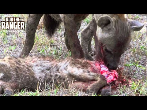 Cannibal Hyenas Eat Rival Clan Member Headfirst!!