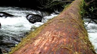 Ants Crossing River On Tree Log