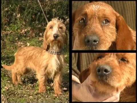 Fawn Brittany Basset, Basset Fauve de Bretagne - Pet Dog Documentary English