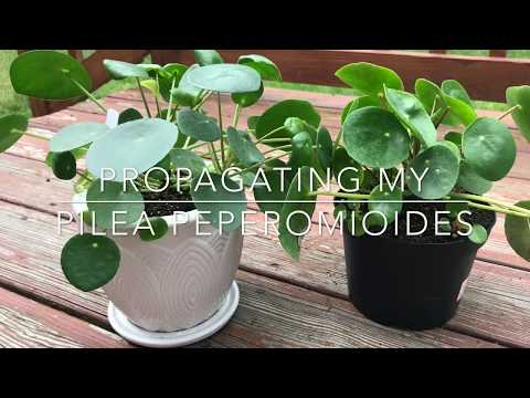 Pilea Peperomioides - Propagation & Repotting