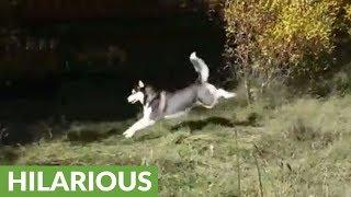 Husky pulls off flawless deer impression