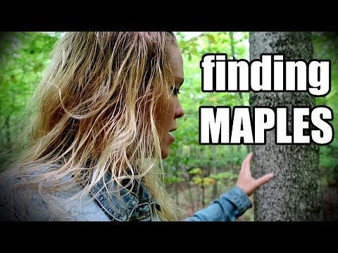 Maple Tree Identification In Winter - Beginner's Guide To Tree Tapping And Maple Syrup Making