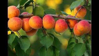 видео Польза и вред абрикосов для здоровья
