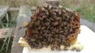 Работа нуклеусов,  как использовать отработаную пчелу. Сентябрь 2018