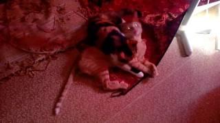Кошка лижет кота. Коту надоело, и он вырвался))