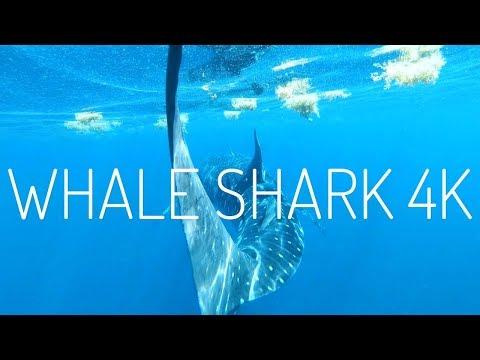 Whale Shark | GoPro Hero 6 4K