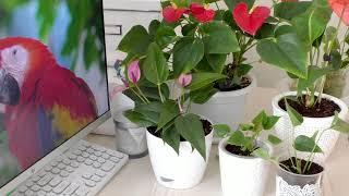 Антуриумы Пересадка в правильный грунт / House Plants