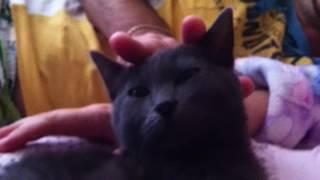 Крутая порода кошек Шартрез, не путать с Русской голубой