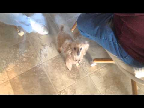 My funny dog. He's a miniature poodle and his name is Sam but I usually call him Sammy