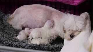 Geburt eines Welpen: unsere Malteser kommen zur Welt!