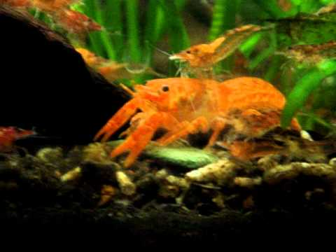 Cambarellus Patzcuarensis Orange (CPO's) Mexican Orange Dwarf Crayfish Eating