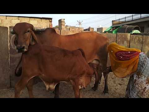Nice gir cow   Women milking by farm