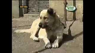 О породе собак - Карачаевский волкодав