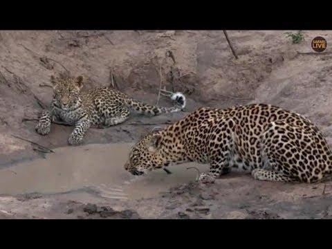 Pt 2  Safari Live's Sunrise Safari Drive at 8:00 AM on April 21, 2018 ( Thandi & Tlalamba )