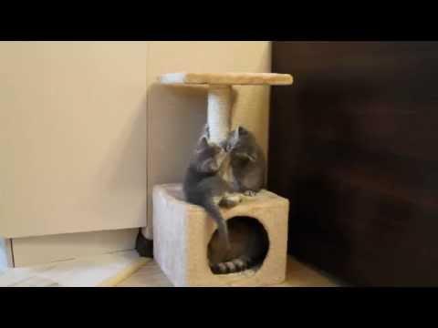 Британские котята 1,5 месяца
