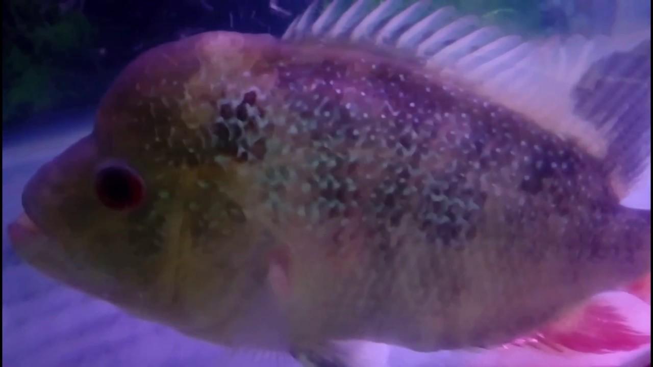 Bagaimanakah Cara Mengatasi Ikan Louhan Yang Sakit Seperti Ini Youtube