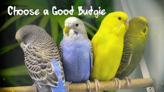 How to Choose a Good Budgie