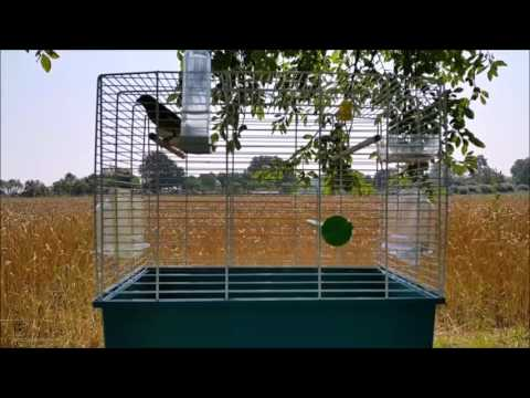 Best Canary Training Video - Timbrado Canary Singing