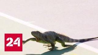 Игуана сорвала теннисный турнир в Майами