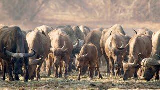 The Pragmatic Way African Buffalos Organize Their Herds