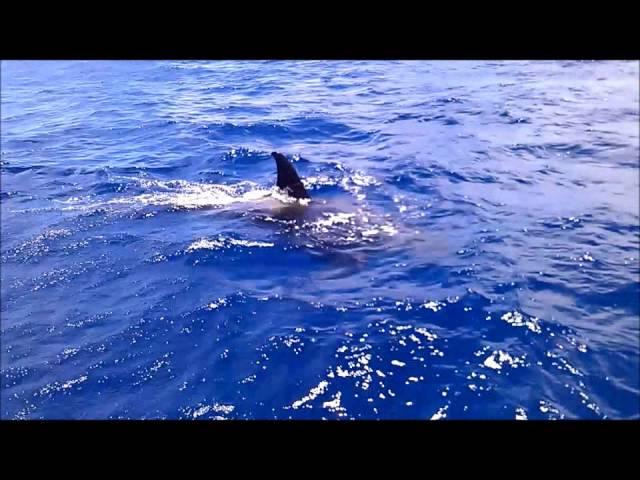 Croisière en voilier aux Grenadines: ORQUES  dans le canal de St Lucia