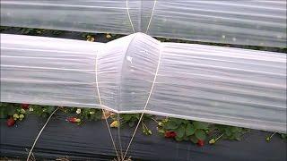 видео: Клубника в Марте месяце Как растёт клубника в Европе