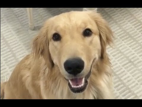 Golden Retriever Dog + Vet Explain How To Protect Your Paws in All Seasons | The Dodo Live
