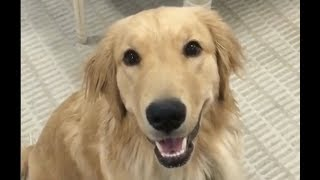 Golden Retriever Dog + Vet Explain How To Protect Your Paws in All Seasons Live