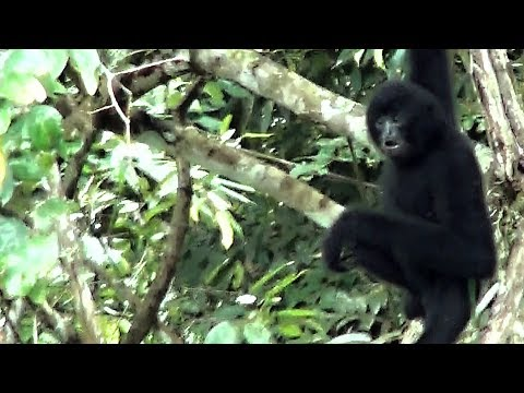 Gibbon Experience Laos- Gibbons To See !