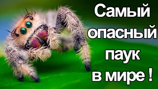The most dangerous spider in the world !