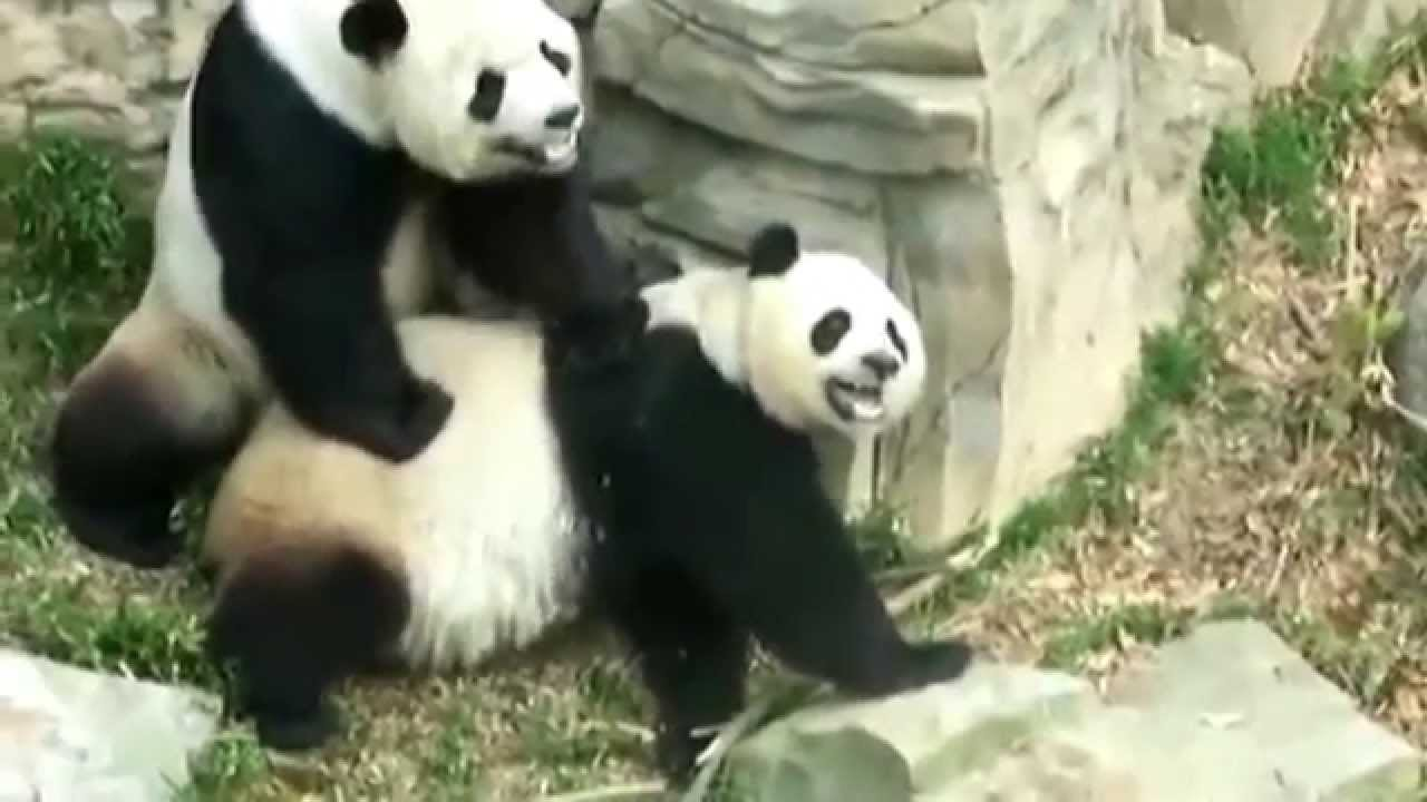 """porn panda Huang said it  was shortly after watching that """"panda porn"""" that she actually."""