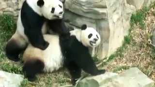 Porn for Panda -WWF