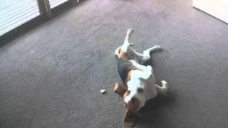Beagle Eating Toast. Cute And Funny!