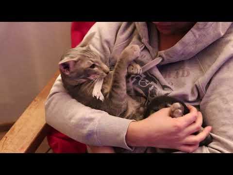 oriental cat is the sweetest breed