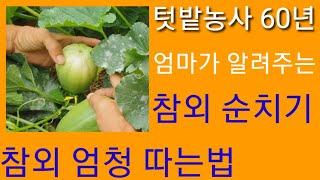 엄마가 알려주는 참외 순치기,참외적심 겹순제거 참외 다수확 하는 방법 귀농 귀촌 시골 농사 농부