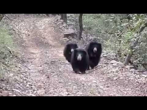 SLOTH BEAR- Ranthambhore National Park, India