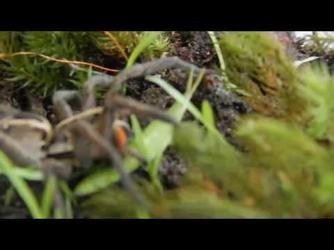 Wolf Spider Hunting Grasshopper