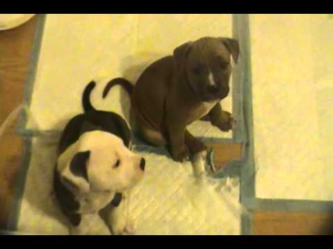 PIT BULL PUPPIES 4 SALE IN BUFFALO