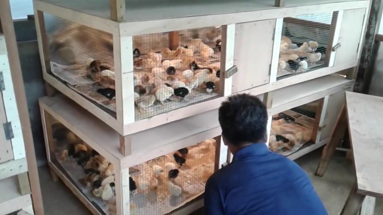 Cara Ternak Ayam Kampung 60 Hari Siap Panen - YouTube