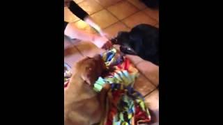 Rottweiler Vs Dogue De Bordeaux + Marty